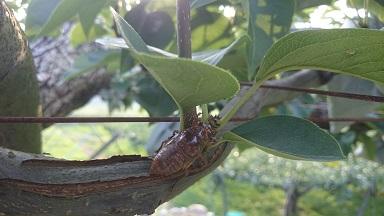 梨畑 セミ1