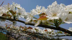 山之上 梨の花 満開