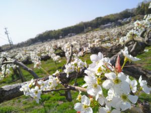 山之上 梨 花